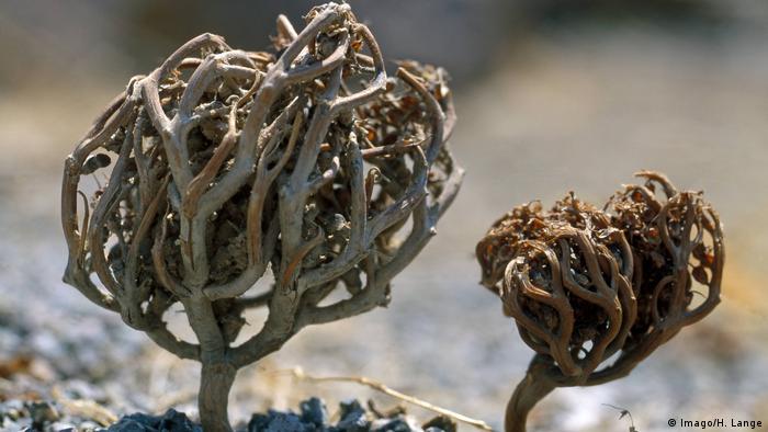 Rose of Jericho, the legendary resurrection plant