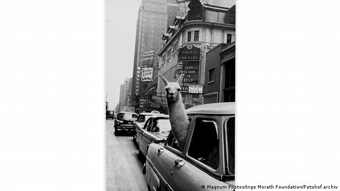 A llama looking out of a window of a car at Times Times Square (Magnum Photos/Inge Morath Foundation/Fotohof archiv)