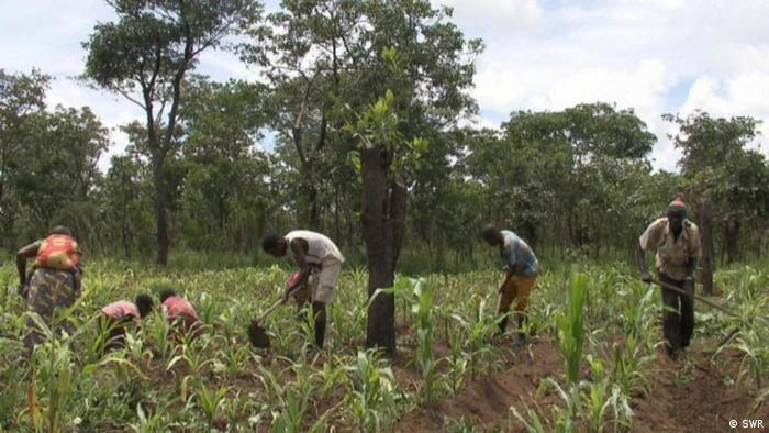 Six people with hand-held farm implements are tending to a maize crop in Zambia.