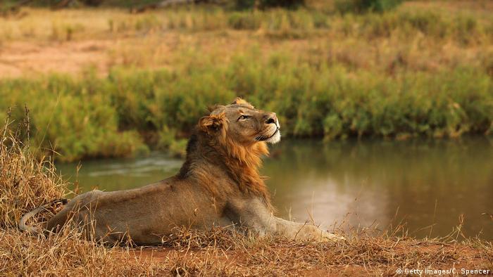 Löwen in Afrika (Getty Images / C. Spencer)