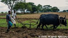 A resettled farmer opens a furrow in his field with an ox-drawn plough on Eden farm on November 27, 2017 in Beatrice, Zimbabwe. Standing outside the gates of the farmhouse from which he was evicted from in 2008, white Zimbabwean Deon Theron knows that he will never get his land back.But he does believe that Robert Mugabe's fall after almost 40 years in power could lead the new government to encourage white farmers to play a part in reviving the country's key agricultural sector. / AFP PHOTO / Jekesai NJIKIZANA (Photo credit should read JEKESAI NJIKIZANA/AFP/Getty Images)