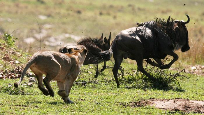 Löwe jagt zwei Gnus (Getty Images / D. Kitwood)