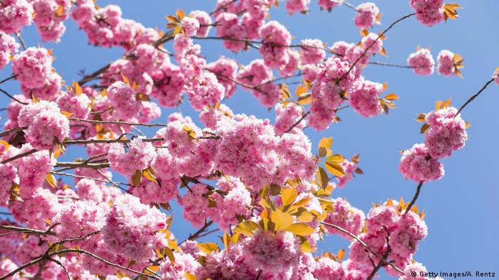 Bonn: Japanese cherry blossoms