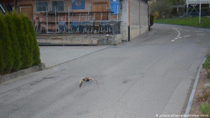 A Swiss speed camera photo, taken in Köniz, clocks a male duck flying at 52 km/h in a 30 km/h zone.