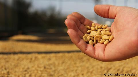 Photo: A hand holding coffee beans (Source: Katharina Wecker/DW)