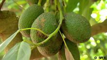 Filmstill Avocado - Superfood und Umweltkiller