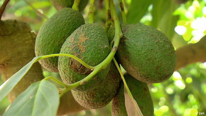 325826b343ff Filmstill Avocado - Superfood und Umweltkiller (SWR)