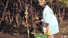 Harvesting oysters in Gambia
