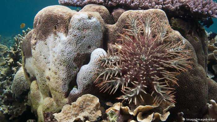 A crown-of-thorns starfish
