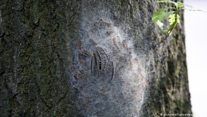 An oak processionary moth caterpillar nest