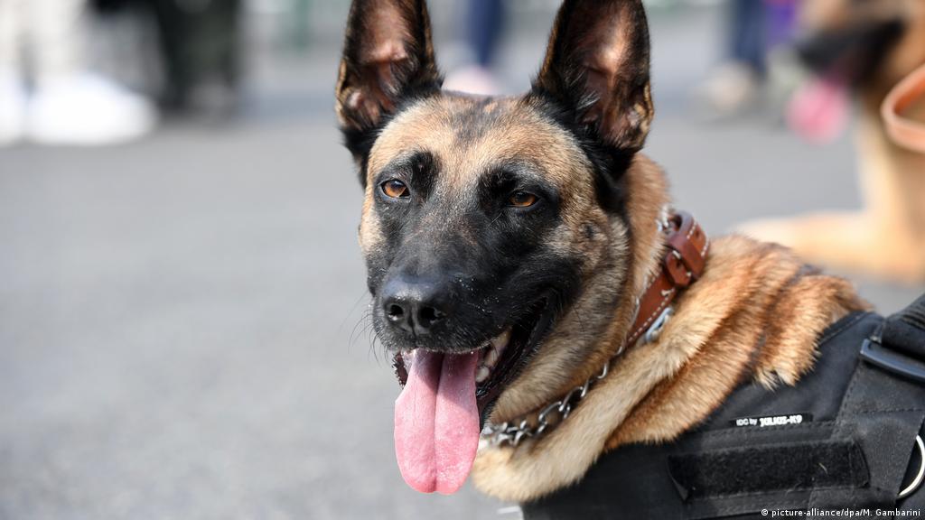 Coronavirus: German military training sniffer dogs | News | DW ...