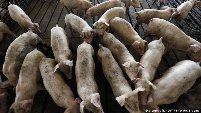 Young hogs on a North Carolina farm
