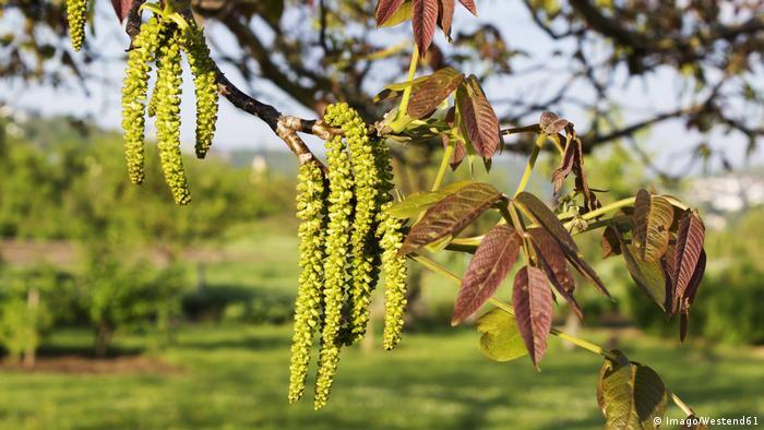 The male pollen flowers of a walnut tree