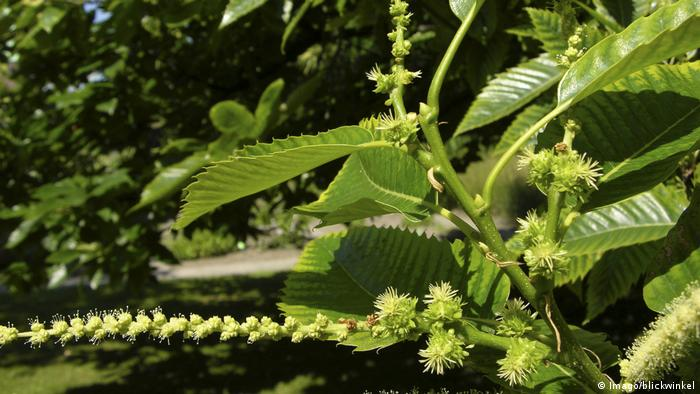Pollen on a chestnut tree.