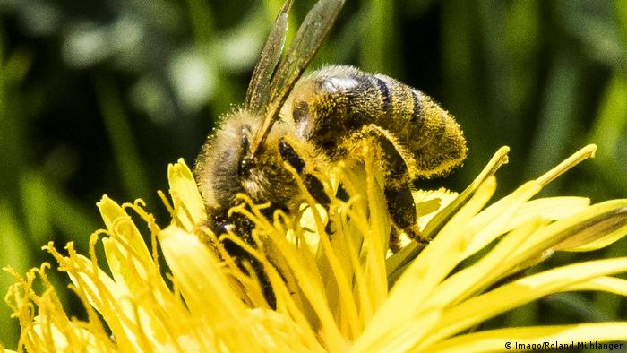 A honey bee on a flower