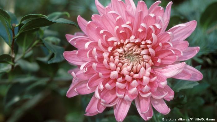 A soft pink chrysanthemum