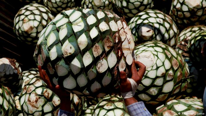 Mexiko Tequilaproduktion (Reuters/C. Jasso)