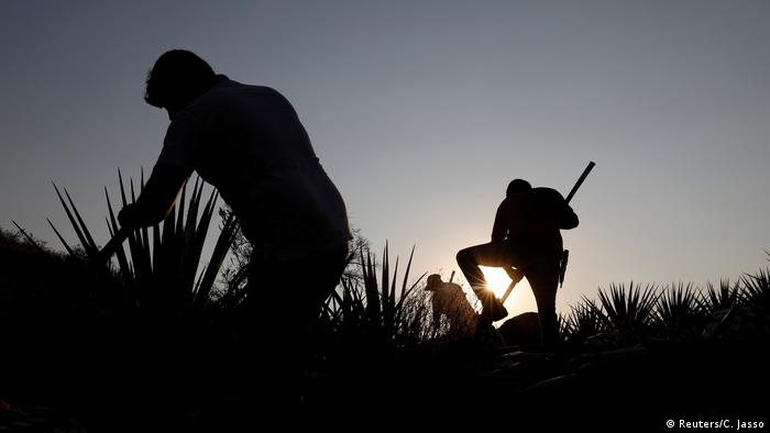 Extracción de agave en Jalisco