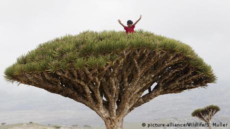 Jemen Insel Sokotra Drachenbaum (picture-alliance/Wildlife/S. Muller)