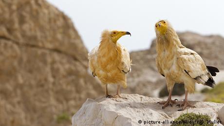 Jemen Insel Sokotra Schmutzgeier (picture-alliance/Wildlife/S. Muller)