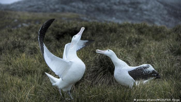 The survival of toroa or northern royal albatross is threatened by changes to climate and habitat