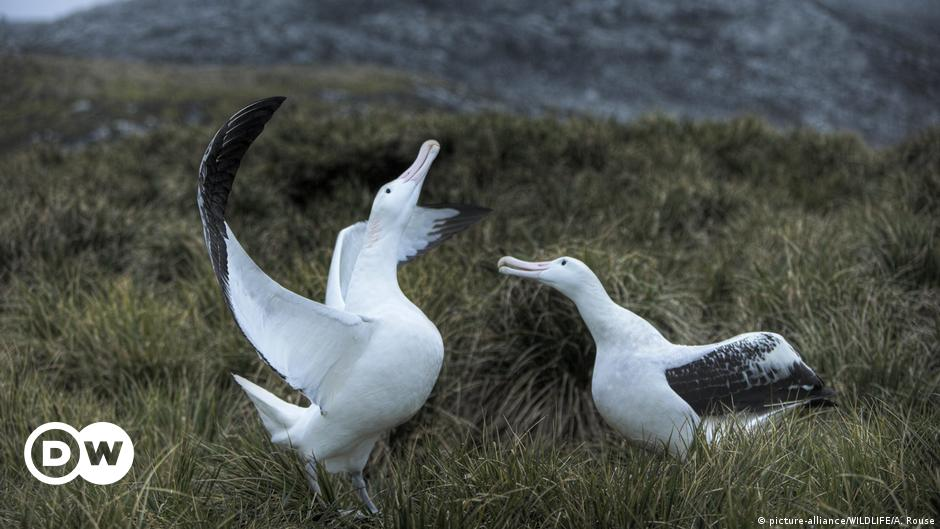 New Zealand's Royal Cam albatross egg hatches