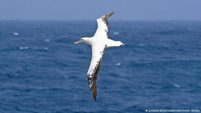 The Albatross A Bird Built To Soar Environment All Topics From