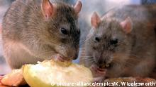 South Georgia free of rodents. Embargoed to 0001 Wednesday May 09 File photo dated 01/08/02 of rats. A remote wildlife-rich island has been officially declared free of rats and mice after a £10 million eradication scheme to protect native birds. Issue date: Wednesday May 9, 2018. The UK overseas territory of South Georgia is free of invasive rodents, which have been arriving as stowaways since Captain Cook discovered the southern Atlantic Ocean island in 1775, for the first time in more than 200 years. See PA story ENVIRONMENT Rats. Photo credit should read: Kirsty Wigglesworth/PA Wire URN:36379877 |