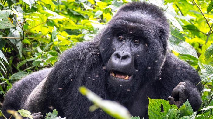 Mountain gorilla in Virunga National Park
