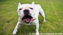 Franzoesische Bulldogge Kampfhund aggressiv