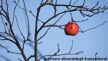 Sturmerprobt Apfel an einem Baum