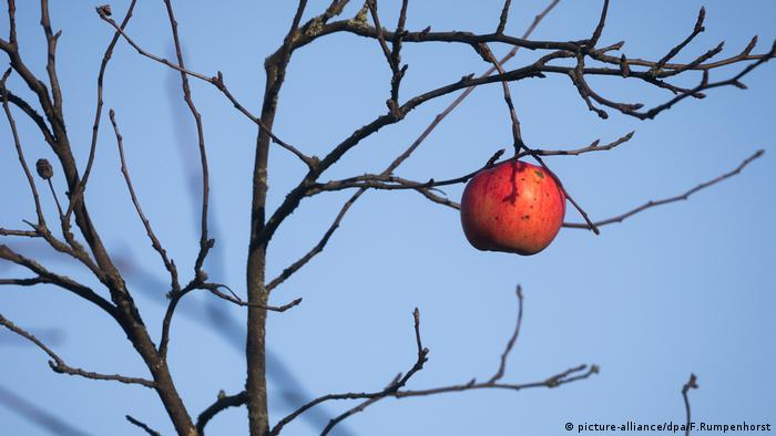 A single apple on a tree (picture-alliance/dpa/F.Rumpenhorst)