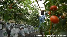 A man works in a hydroponic tomatoes farm in Bingerville on August 22, 2016. Hydroponics were developed over the ages around the world as an alternative growing system in which plants require a nutrient solution and no soil. / AFP / SIA KAMBOU (Photo credit should read SIA KAMBOU/AFP/Getty Images)