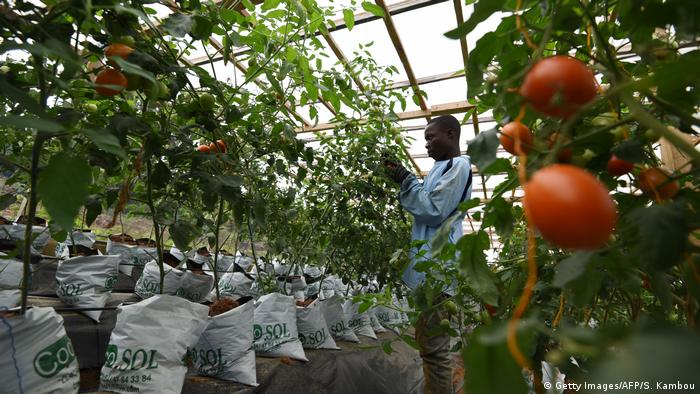 DW eco@africa - A man works in a hydroponic tomatoes farm (Getty Images/AFP/S. Kambou)