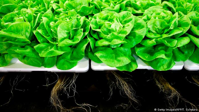 DW eco@africa - Salad is presented on a floating platform at the booth of Dry Hydroponics during the opening day of the Fruit Logistica trade fair in Berlin (Getty Images/AFP/T. Schwarz)