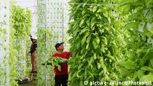 DW eco@africa - hydroponics in China (picture-alliance/Photoshot)