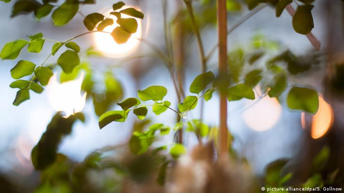 Uganda: Moringa für alle?