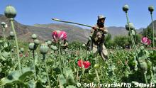 An Afghan security force member destroys an illegal poppy crop in the Noor Gal district of eastern Kunar province on April 29, 2014. Citing the United Nations Office of Drugs and Crime, John Sopko, the US Special Inspector General for Afghanistan Reconstruction, said January 2014 that the rise in opium production is expected to continue and threaten the stability of the Afghan government. AFP PHOTO / Noorullah Shirzada (Photo credit should read Noorullah Shirzada/AFP/Getty Images)