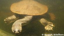 Global Ideas Schlangenhalsschildkröte Chelodina mccordi (Imago/S. Schellhorn)
