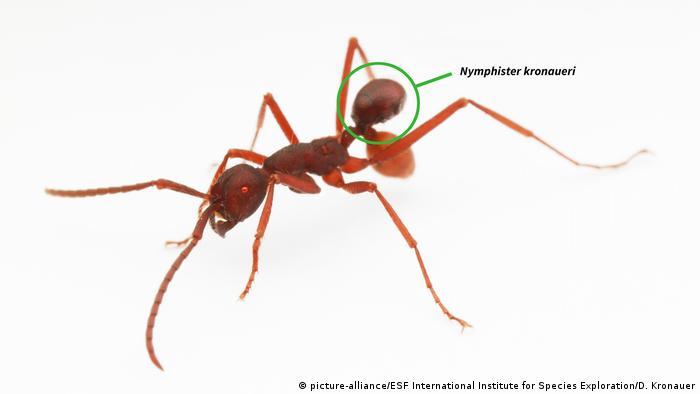 10 neue Spezies Käfer Nymphister kronaueri (picture-alliance/ESF International Institute for Species Exploration/D. Kronauer)