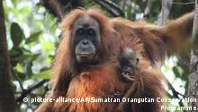 This undated photo released by the Sumatran Orangutan Conservation Programme shows a Tapanuli orangutan with its baby in Batang Toru Ecosystem in Tapanuli, North Sumatra, Indonesia. Scientists are claiming an isolated and tiny population of orangutans on the Indonesian island of Sumatra with frizzier hair and smaller heads are a new species of great ape. It's believed that there are no more than 800 of the primates that researchers named Pongo tapanuliensis, making it the most endangered great ape species. (James Askew/Sumatran Orangutan Conservation Programme via AP) |