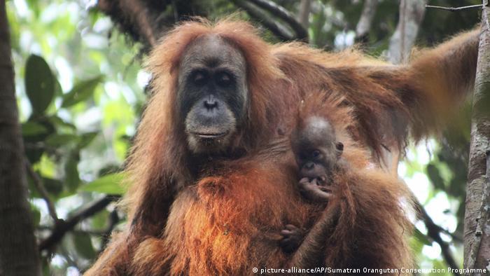 Tapanuli orangutan with its baby in Batang Toru Ecosystem in Tapanuli, North Sumatra, Indonesia (picture-alliance/AP/Sumatran Orangutan Conservation Programme)