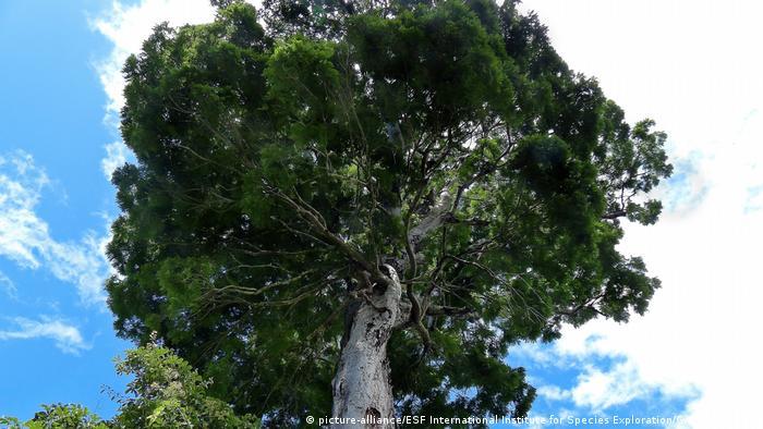 10 neue Spezies Baum Dinizia jueirana-facao (picture-alliance/ESF International Institute for Species Exploration/Gwilym P. Lewis)