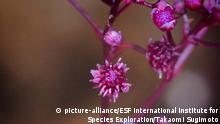 Eine Nahaufnahme der leuchtend pinkfarbenen Blüte von Sciaphila sugimotoi, einer der wenigen Pflanzen, die keine Photosynthese betreibt.
