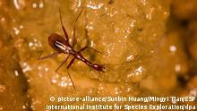 Ein dünner Käfer ohne Augen krabbelt an der Wand einer Höhle entlang.