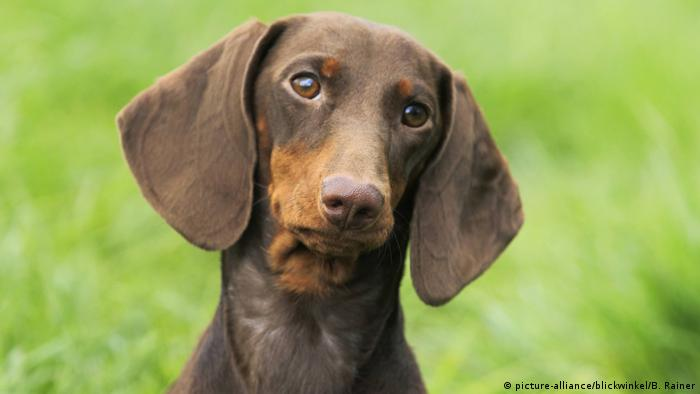 A shorthaired sausage dog