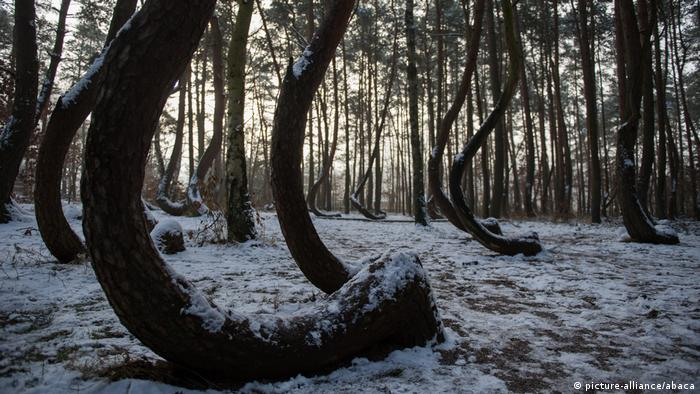 Polen, Gryfino: Crooked Forest (picture-alliance/abaca)