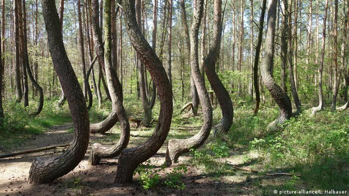 Our Beautiful Planet The Mystery Of Poland S Crooked Forest Eco Africa Dw 31 05 2018,Best Paint For Bathroom Ceiling To Prevent Mold Australia