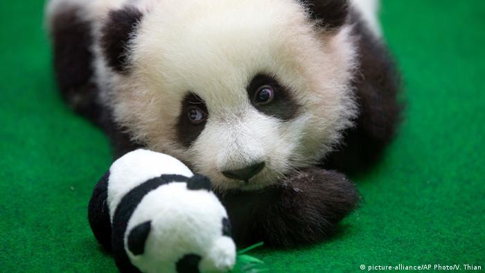 A baby panda makes her public debut at a zoo in Kuala Lumpur, Malaysia