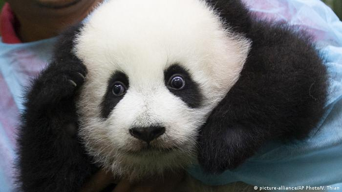 A zoo worker holds a baby panda at Malaysia Zoo in Kuala Lumpur